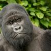 Mt. Gorillas Congo