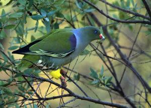 african-green-pigeon