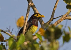barbet-yellow-billed