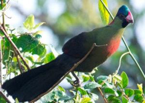 bird-turaco-1