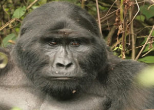 busingye-gorilla-group