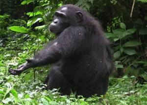 chimp-2