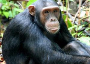 chimpanzee-nyungwe