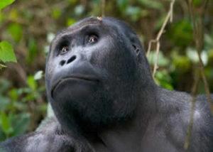 eastern-lowland-gorilla