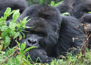 gorilla-6