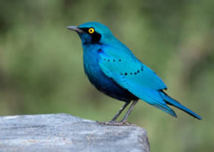 greater-blue-eared-starling