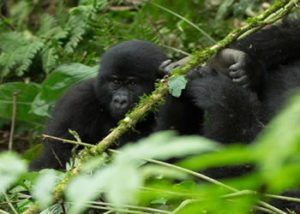 habinyanja-gorilla-group