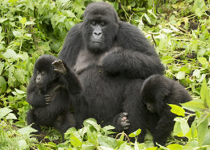 hirwa-gorilla-group
