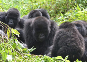 karisimbi-gorilla-group