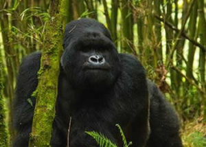 kwitonda-gorilla-group