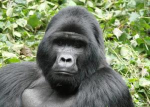kyaguliro-gorilla-group