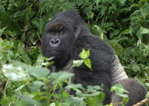 munyaga-gorilla-group