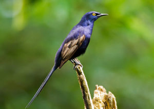 narrow-tailed-starling