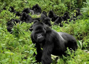 nshongi-gorilla-group