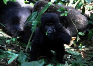 oruzogo-gorilla-group