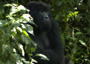 rugendo-gorilla-group