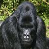 Gorilla trekkingRwanda