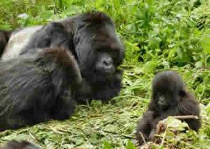 ugenda-gorilla-group