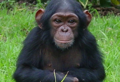 Chimpanzee Tracking & Viewing in Congo