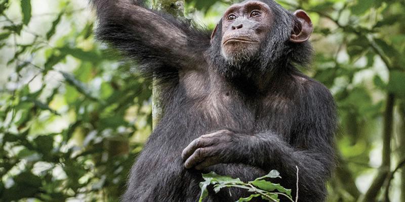 Chimpanzee Tracking Tours Rwanda