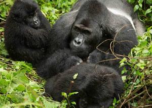 Lowland Gorilla Trekking in Congo
