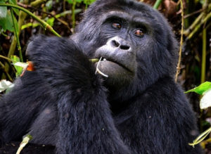 Gorilla Trekking Tours Uganda, Rwanda and DR Congo