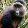 Golden Monkey Tracking Rwanda