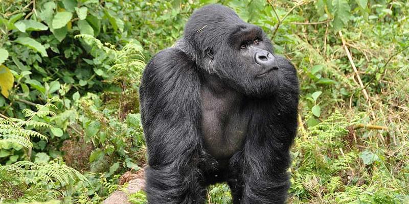 Gorilla Trekking Tours Congo