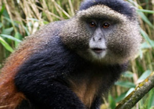 Golden Monkey Tracking