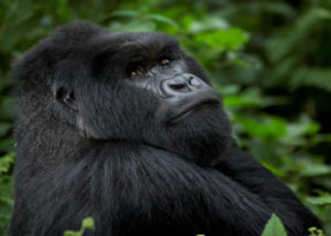 amahoro-gorilla-group