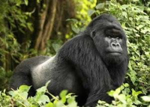 bitukura-gorilla-group