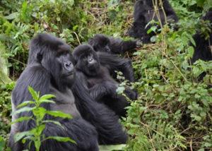 bwenge-gorilla-group