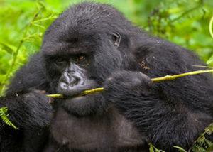 Active Congo Safaris-5 Days Fossey & Gorilla Tour