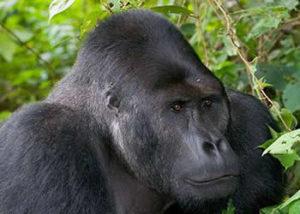 congo-gorilla