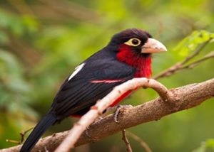 double-toothed-barbet