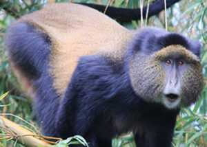 golden-monkey-1