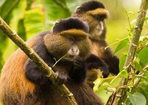 golden-monkey3