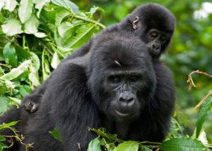 gorilla-10