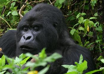 3 Days Gorilla Trekking Tour Congo
