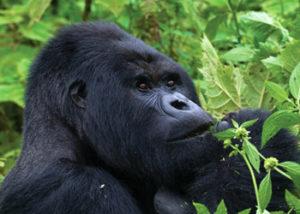 Active Congo Safaris-3 Days Congo Gorilla Tour