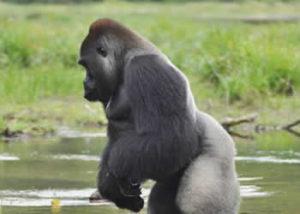 Adventure Ativities Uganda-gorilla-9
