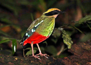 green-breasted-pitta