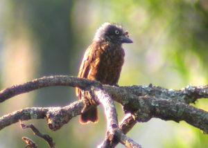 grey-throated-barbet