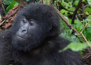 humba-gorilla-group