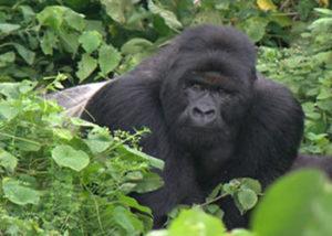 kabirizi-gorilla-group