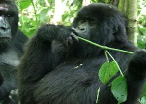 lulengo-gorilla-group