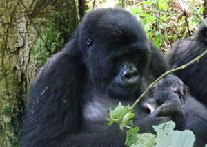 mapuwa-gorilla-group