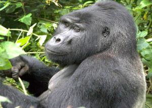 mishaya-gorilla-group