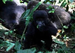 oruzogo-gorilla-group