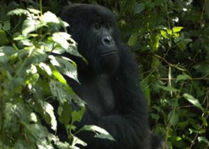 rugendo-gorilla-group